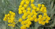 immortelle helichryse